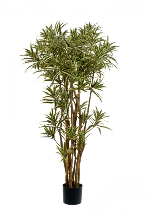 DRACAENA REFLEX TREE 150 CM photo #1